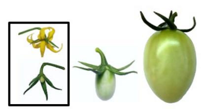 Cây cà chua